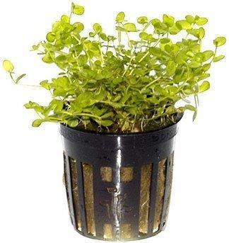 Tropica Micranthemum umbrosum (im Topf)