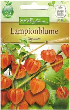 Chrestensen Lampionblume Gigantea