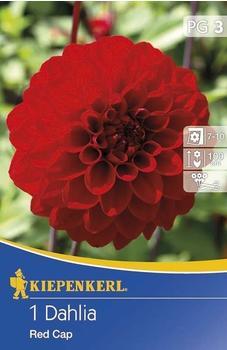 Kiepenkerl Ball-Dahlien Red Cap