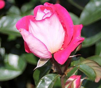 Dehner Beetrose Heimatmelodie, Pink,Weiß