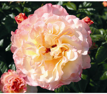 Dehner Edelrose Aquarell, Apricot,Rosa