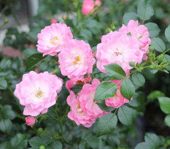 Dehner Bodendecker Rose Satina, Rosa