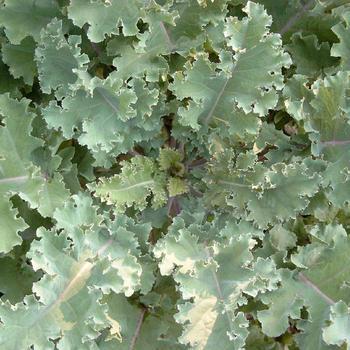 Freudenberger Markstammkohl (Brassica oleracea) 1kg