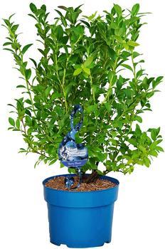 BCM Obstpflanze »Heidelbeere Berry Blues«, Lieferhöhe: ca. 80 cm, 1 Pflanze