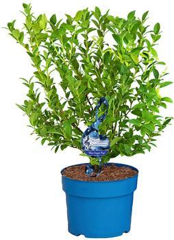 BCM Obstpflanze »Heidelbeere Blue Sugar Pop« Lieferhöhe: ca. 80 cm, 2 Pflanzen