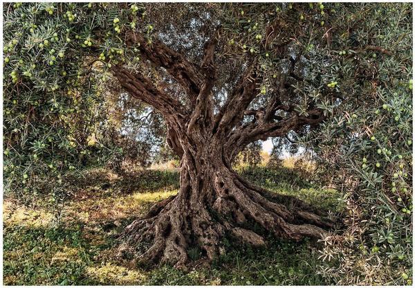 Komar Olive Tree 254 x 368 cm (8-531)