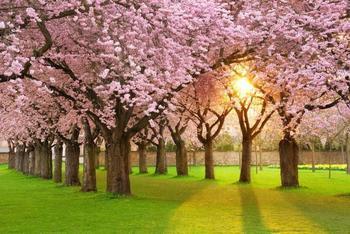 PaperMoon Cherry Tree Garden 350x260 cm