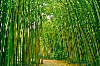 PaperMoon Bamboo Forest 350x260 cm