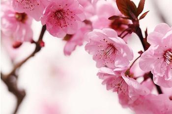 PaperMoon Peach Blossom 350x260 cm