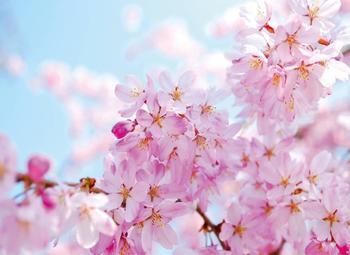 PaperMoon Cherry Blossom 350x260 cm