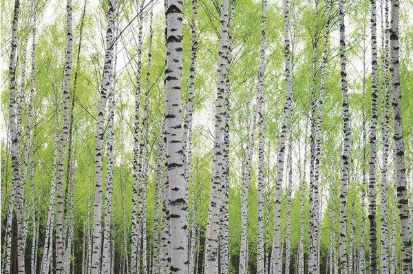 PaperMoon Birch Forest 250 x 180 cm