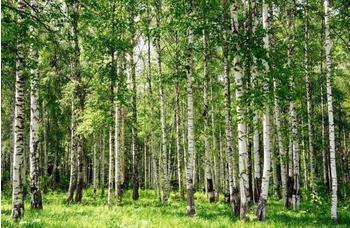 PaperMoon Birch Forest 350 x 260 cm