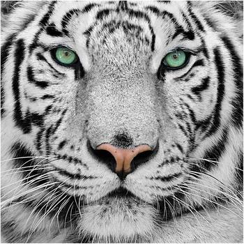 Apalis Weißer Tiger 2,88 x 2,88m (95505)