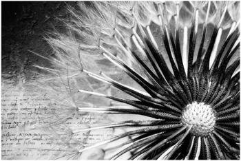 Apalis Pusteblume Schwarz & Weiß 2,9 x 4,32m (94776-4)