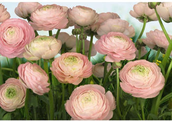 komar-gentle-rose-368-x-254cm