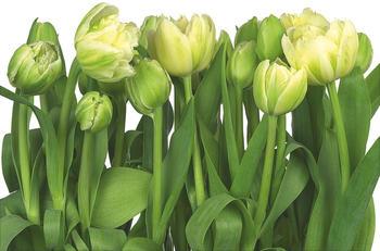 komar-tulips-368-x-254-cm
