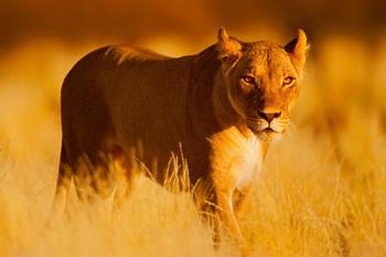 papermoon-lion-400-x-260-cm