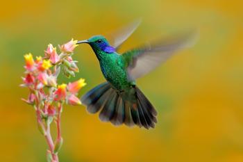 papermoon-hummingbird-colibri-thalassinus-400-x-260-cm