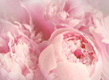 papermoon-peony-flowers-400-x-260-cm