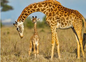 papermoon-masai-giraffe-protecting-baby-400-x-260-cm